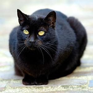 zblízka obrázky čiernej mačička